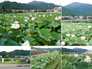 Lotus field of the shikanocho